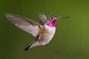 hummingbird Hawks Aloft ink
